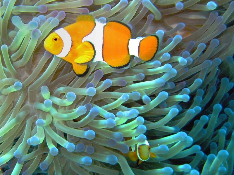 Common_clownfish_curves_dnsmpl