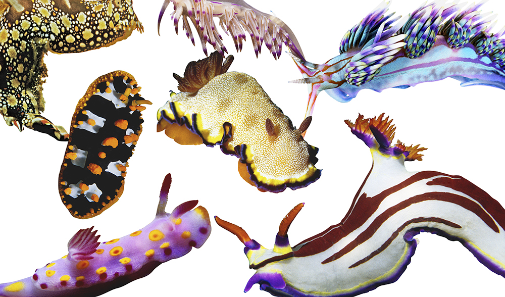 nudibranch-collage